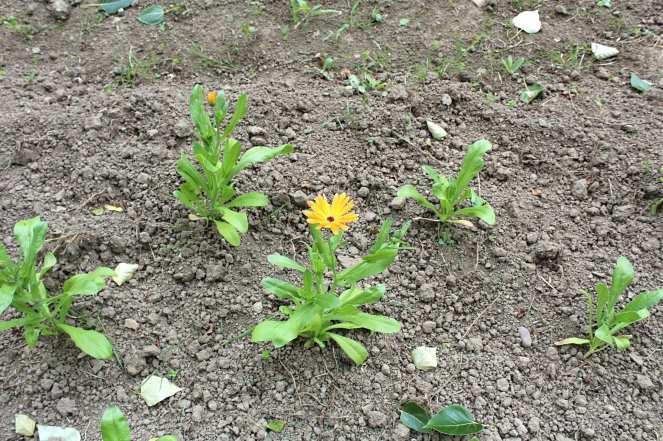 Weleda Insight Day Calendula Plant